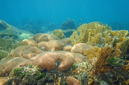 starlet: Coral reef underwater in the Caribbean sea with massive starlet and fire corals colonies
