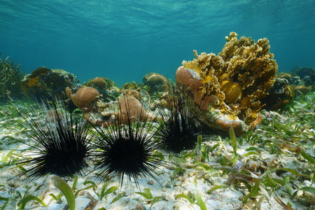 Long spined sea urchins underwater on seabed of the Caribbean sea 版權商用圖片