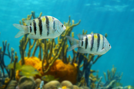 damselfish: Sergeant major fish, Abudefduf saxatilis, Caribbean sea