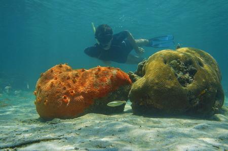 brain coral: Man snorkeling underwater behind red encrusting sponge and brain coral, Caribbean sea