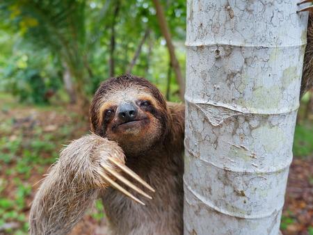 Portret van bruin-throated drie-toed luiaard op een boom, Panama, Midden-Amerika