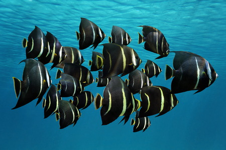 exotic fish: School of tropical fish, French angelfish, under water surface, Caribbean sea