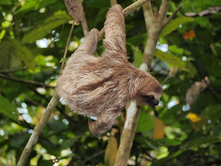 brown throated: Young brown-throated three-toed sloth hanging from a branch in the jungle, Panama, Central America Stock Photo