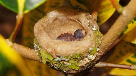 rufous: Baby bird of Rufous tailed hummingbird in nest