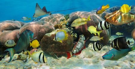 water panoramic: Underwater panorama in a coral reef with colorful tropical fish
