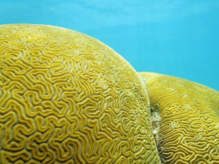 stony coral: Close up of Grooved brain coral that looks like a labyrinth