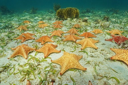 Cluster of starfish, Oreaster reticulatus, underwater on the ocean floor Stock Photo