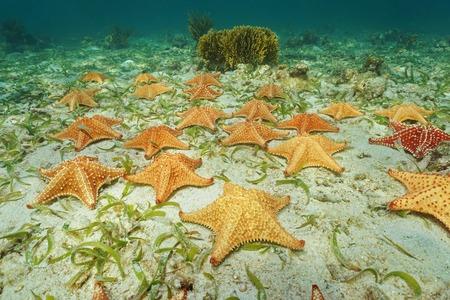 cushion sea star: Cluster of starfish, Oreaster reticulatus, underwater on the ocean floor Stock Photo