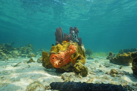 branching coral: Colorful life under sea with sponges and corals, Caribbean