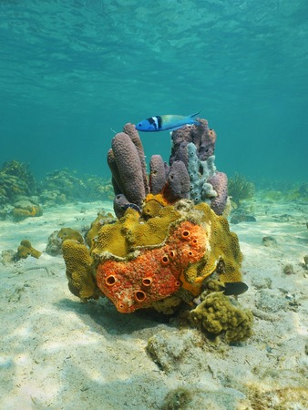 branching coral: Colorful life underwater on seabed of the Caribbean sea with sponges, coral and a bluehead fish