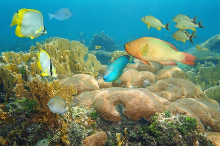 Coral reef with colorful fish under the sea, Caribbean photo
