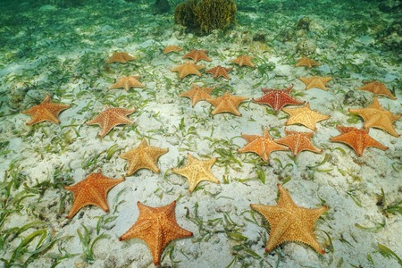 Group of starfish, Cushion sea star, Oreaster reticulatus, underwater on the seabed, Caribbean