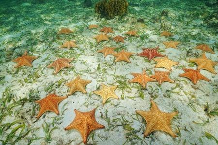 oreaster reticulatus: Group of starfish, Cushion sea star, Oreaster reticulatus, underwater on the seabed, Caribbean