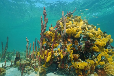 Multi colored sea sponges underwater in a coral reef of the Caribbean sea photo