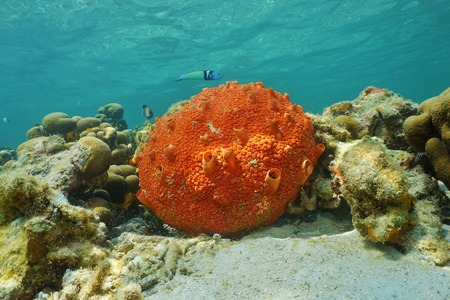 Underwater life, red encrusting sponge, Cliona delitrix, on shallow seabed of the Caribbean sea