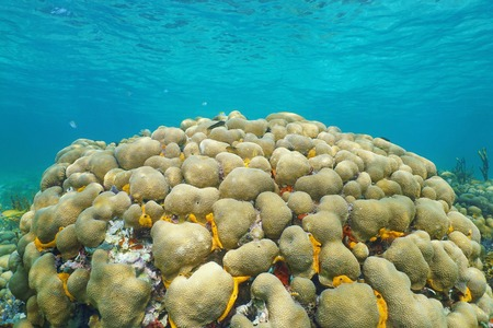 Underwater reef with Great star coral, Montastraea cavernosa, Caribbean sea photo