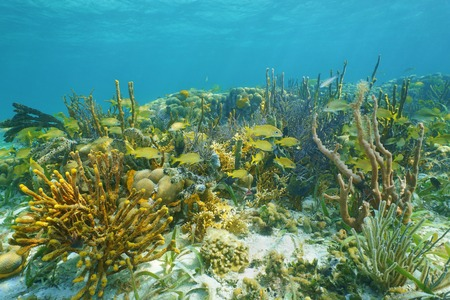 Underwater landscape on a thriving coral reef with tropical fish and colorful sea sponges, Caribbean photo