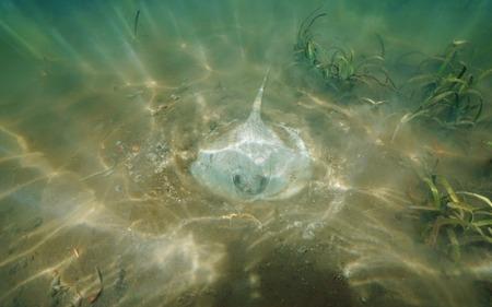 ocean floor: Caribbean whiptail stingray, Himantura schmardae, searching for food on ocean floor with sunrays