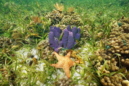Colorful underwater animals with purple Branching tube sponge and red Cushion starfish in a coral reef, Caribbean sea Stock Photo
