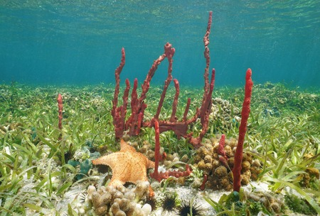 cushion sea star: Underwater creatures, Erect rope sponge and Cushion starfish on shallow seabed of the Caribbean sea
