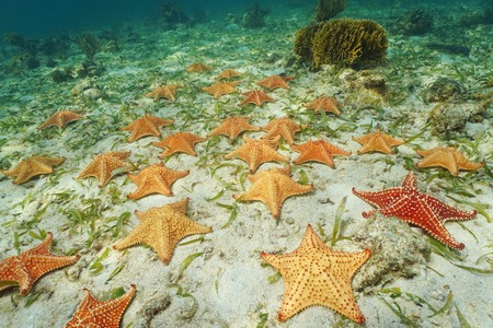 Group of starfish, Cushion sea star Oreaster reticulatus, underwater on sea bottom, Caribbean Banco de Imagens