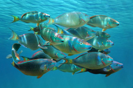 Shoal of colorful tropical fish, Stoplight parrotfish in terminal phase, under the water surface, Caribbean sea
