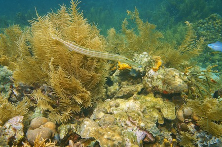 Trumpetfish, Aulostomus maculatus, underwater in a coral reef of the Caribbean sea photo