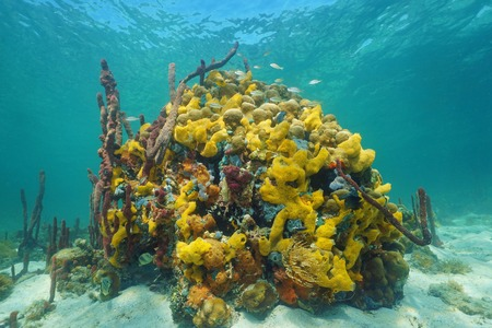 coral colored: Underwater life with multi colored sea sponges in a coral reef of the Caribbean sea Stock Photo