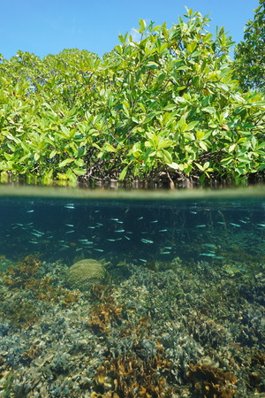 Mangrove ecosystem split shot with trees above the water and corals with juvenile fish underwater, Caribbean sea photo