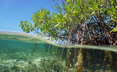 Mangrove trees roots, Rhizophora mangle, above and below the water in the Caribbean sea, Panama, Central America 免版税图像