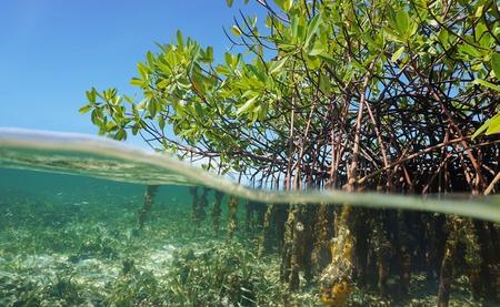 Rboles de mangle raíces, Rhizophora mangle, por encima y por debajo del agua en el mar Caribe, Panamá, América Central Foto de archivo - 36245853