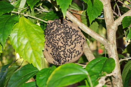 paper wasp: Paper wasp nest, Polybia Sp, with group of wasps outside, Central America, Costa Rica