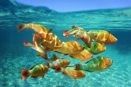 School of colorful tropical fish, Rainbow parrotfish, close to water surface, Caribbean sea