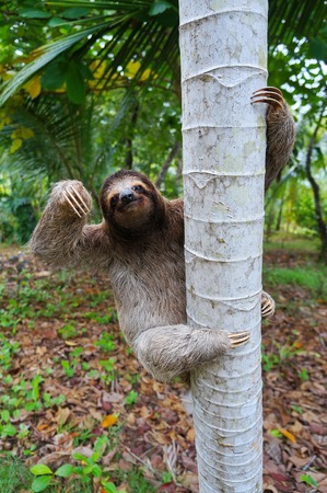 brown throated: Brown-throated sloth climbing on a tree, Panama, Central America Stock Photo