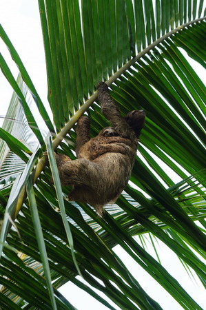 three palm trees: Female Brown-throated sloth with its baby nestled up against her tummy, climbing a palm leaf, Costa Rica, Central America Stock Photo