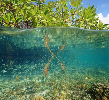 Mangrove ecosystem over and under the sea with foliage above water surface and corals with juvenile fish below, Caribbean