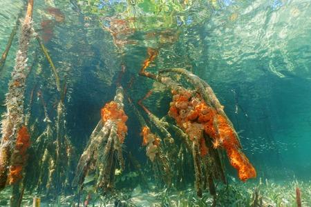 mangrove: Mangrove roots underwater with red boring sponges, Caribbean sea, Panama