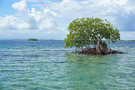 bocas del toro: Secluded mangrove tree in the water with an island at the horizon, Caribbean sea, Panama, Bocas del Toro archipelago