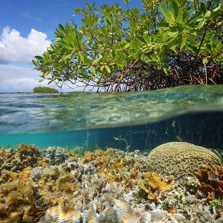 red coral colony: Over and under sea surface near an islet of mangrove with foliage above waterline and corals underwater, Caribbean, Panama Stock Photo