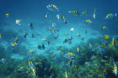 sergeant: School of sergeant major fish, Abudefduf saxatilis, above a coral reef of the Caribbean sea Stock Photo