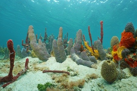 branching: Sea sponges underwater mostly branching tube sponge, on sandy seabed of the Caribbean sea