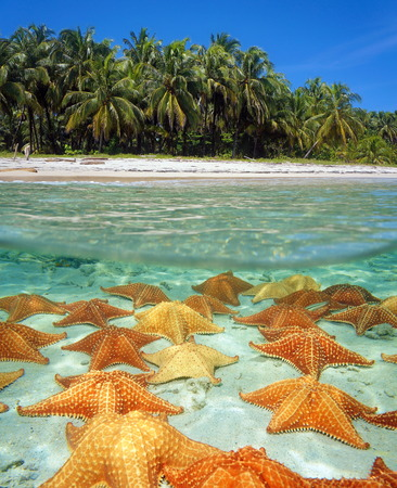 Over-under on the shore of a tropical beach with coconut trees and many starfish underwater on sandy seafloor