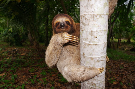 brown throated: Three-toed sloth climbing on tree trunk, Panama, Central America Stock Photo