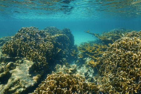 elkhorn coral: Underwater landscape on a stony coral reef close to the surface in the Caribbean sea Stock Photo