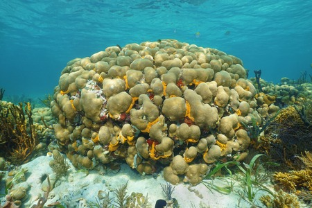 hard coral: Caribbean reef underwater with Great star coral, Montastraea cavernosa
