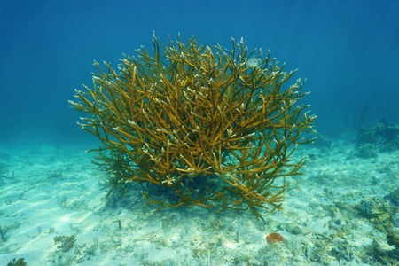 acropora: Colony of Staghorn coral, Acropora cervicornis, underwater in the Caribbean sea