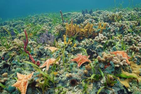 ocean floor: Colorful ocean floor with starfish and sea sponge in a Caribbean coral reef, natural scene