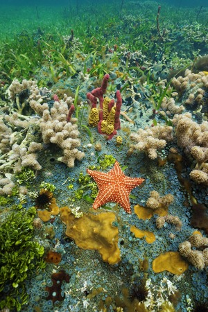 oreaster reticulatus: Colorful underwater marine life on the seafloor with a Cushion sea star, coral and sponge, Caribbean sea Stock Photo