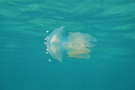 encountered: Jelly Blubber jellyfish, Catostylus mosaicus, native from Indo-Pacific but encountered in the Caribbean sea, Bocas del Toro, Panama