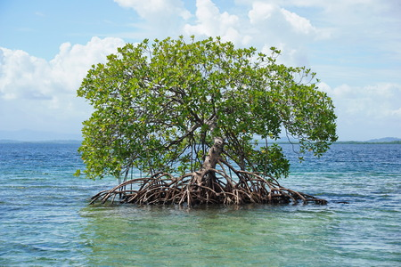 tree root: Secluded mangrove tree, Rhizophora mangle, in the water of the Caribbean sea, Panama, Central America Stock Photo